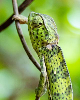 Flap-necked chameleon, Chamaeleo dilepis