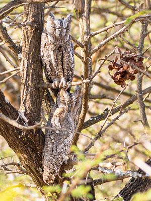 African Scops Owl, Otus senegalensis. Hara lodge