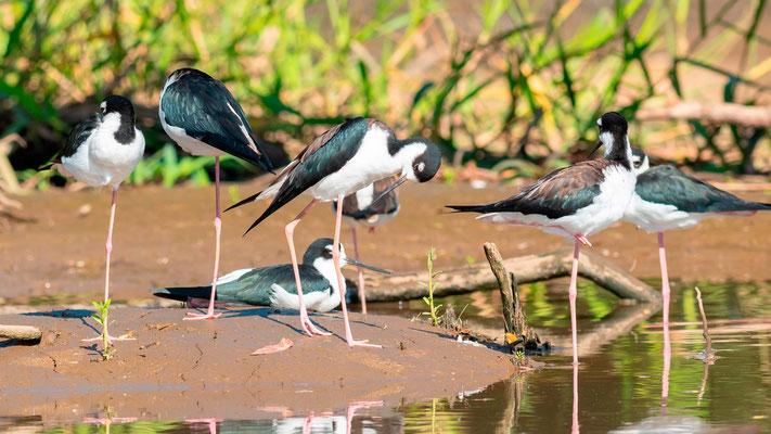 Black-necked Stilt, Himantopus mexicanus, Tarcoles river