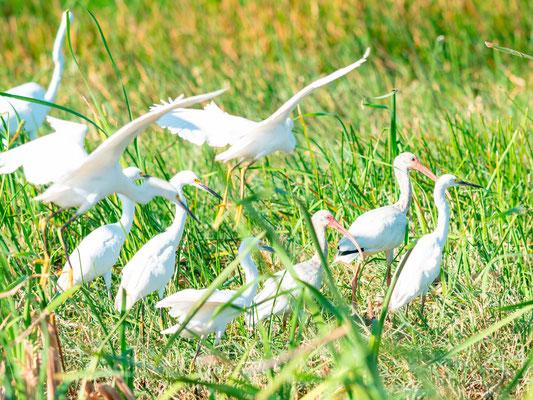 Snowy Egret and American White Ibis, Egretta thula et Eudocimus albus