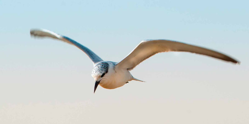 Whiskered Tern, Childonias hybrida