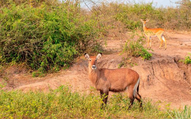 Femelles Cobe à croissant, Kobus ellipsiprymnus et Cobe de l'Ouganda, Kobus kob thomasi