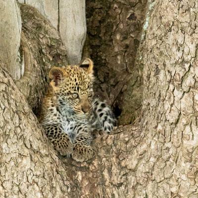 Leopard Siblings, Panthera pardus