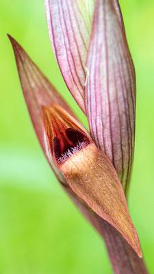 Long-lipped serapias, Serapias vomeracea