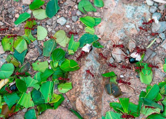 Fourmis coupeuse de feuilles.