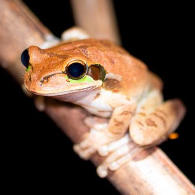 Masked Tree Frog, Smilisca phaeota