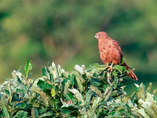 Crécerelle renard, Falco alopex