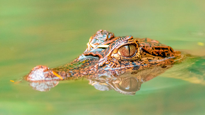 Spectacled caiman , Caiman crocodilus juvenile