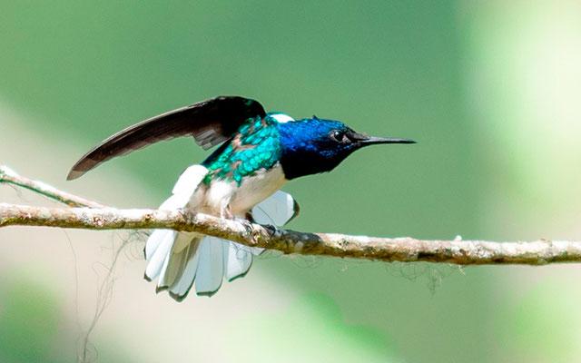 Colibri jacobin, Florisuga mellivora, mâle