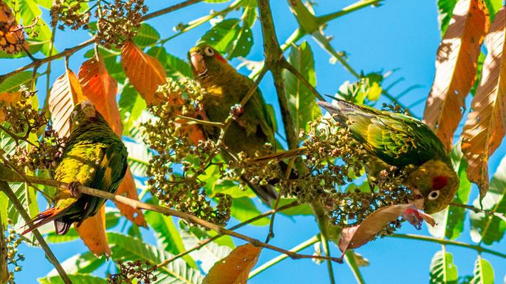 Sulphur-winged Parakeet, Pyrrhura hoffmanni. Endemic of Costa Rica and Panama.