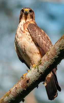 Broad-winged Hawk, Buteo platypterus, Villa Lapas