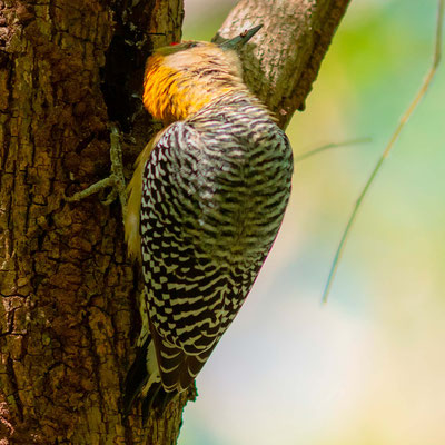 Hoffmann's Woodpecker, Melanerpes hoffmannii