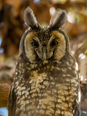 Hibou d'Abyssinie , Asio abyssinicus