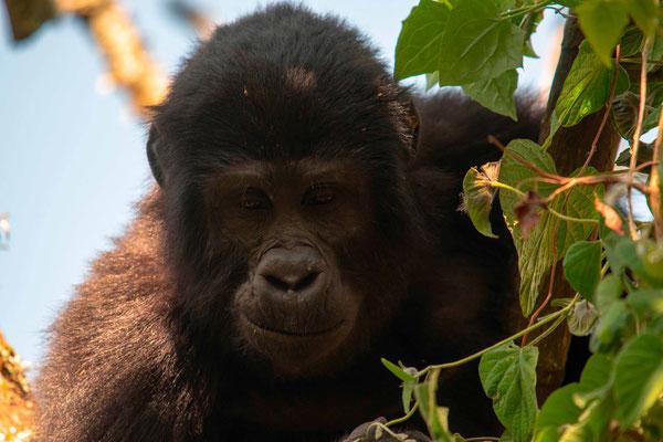 Mountain Gorilla, Gorilla beringei beringei. Teenage