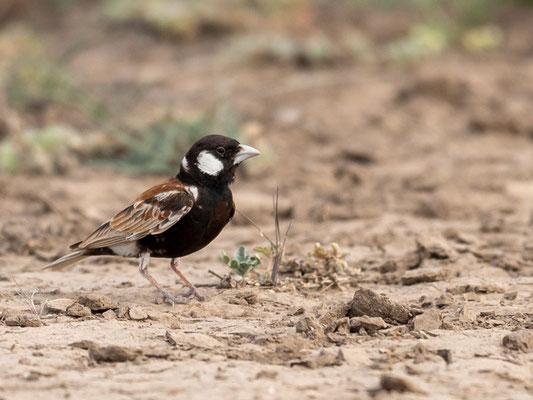 Chestnut-backed Sparrow-Lark, Eremopterix leucotis. Aledeghi reserve
