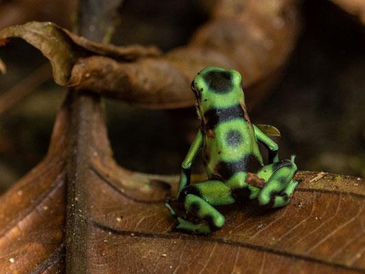 Green-and-black poison dart frog, Dendrobates auratus