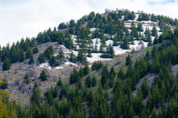 Forêt de cèdre du Shouf