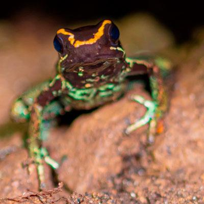 Golfo Dulce Poison-Dart Frog, Phyllobatus vittatus