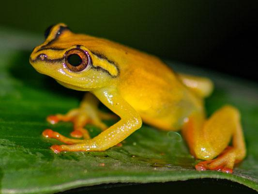 Hyperolius substriatus