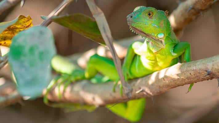 Iguane commun, Iguana iguana juvenile