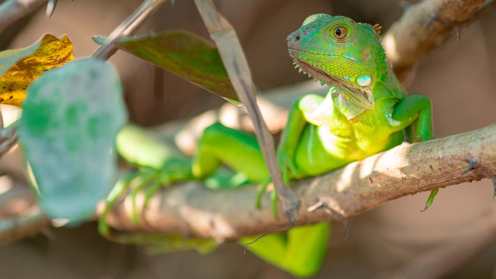 Green Iguana, Iguana iguana juvenile