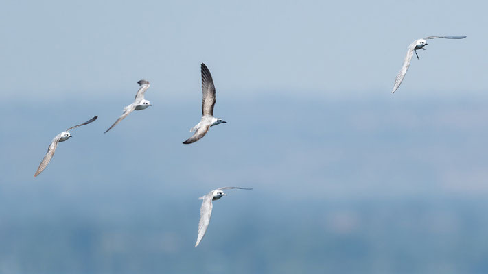 White-winged Tern, Chlidonias leucopterus
