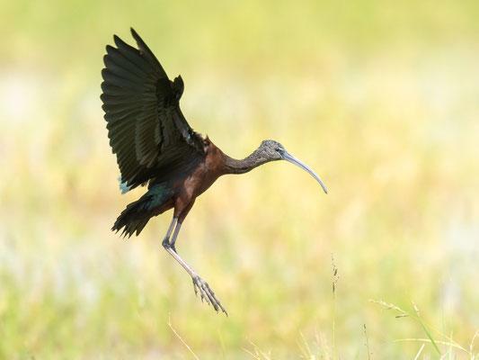 Ibis falcinelle, Plegadis falcinellus. Lac Chelekleka