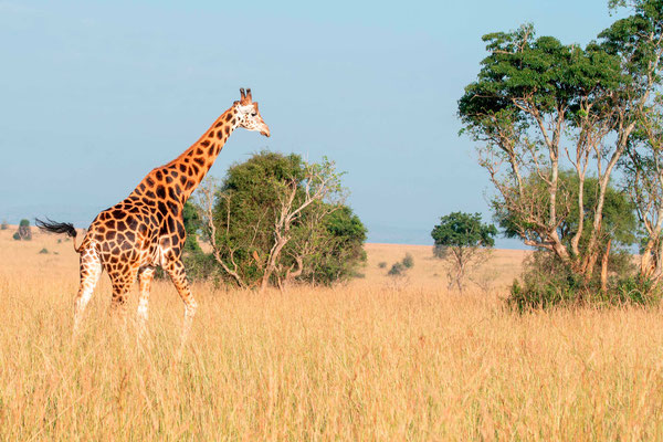 Girafe, Girafa camelopardalis rotschildi