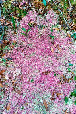 Mousse du couvert forestier