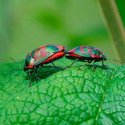 Coléoptère indéterminé. C'est probablement cette période d'accouplement qui nous a permis de les voir. Nous avons finalement observé très peu d'insectes, à part les mouches et les papillons.