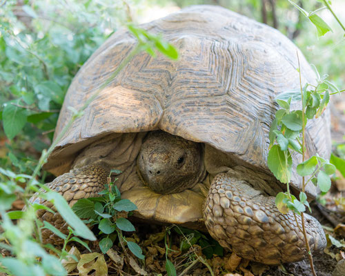 Leopard tortoise , Stigmochelys pardalis. Beautiful individual, obviously quite old considering his size.