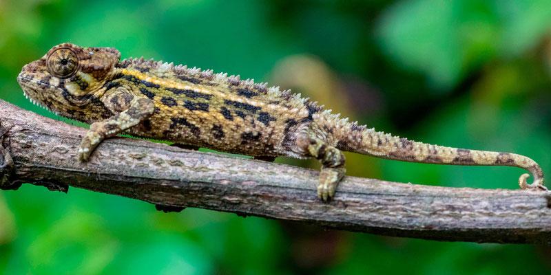 Montane side-striped chameleon , Trioceros ellioti