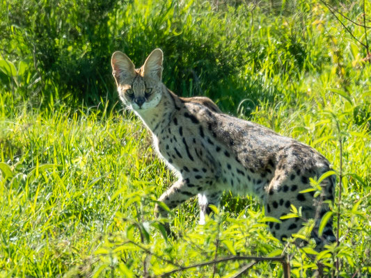Serval, Leptailurus serval, captured in the early morning in the N'gorongoro crater