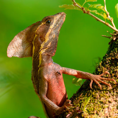 Basilic brun, Basiliscus vittatus