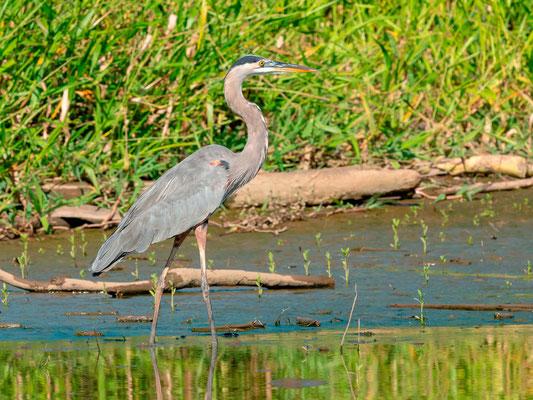 Great Blue Heron , Ardea heriodas, Tarcoles river