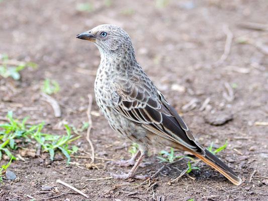 Rufous-tailed Weaver, Histurgops ruficauda. Tanzania and Kenya endemic