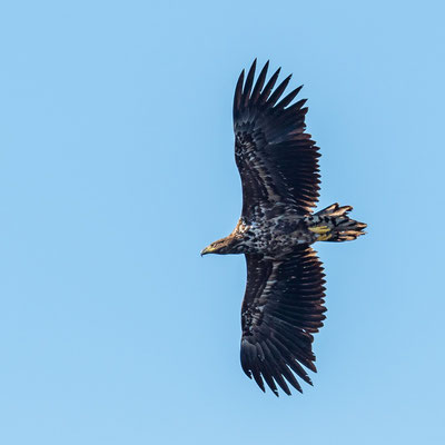 White-tailed Eagle, Haliaeetus albicilla, immature