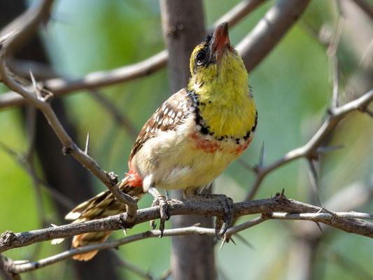 Yellow-breasted Barbet, Trachyphonus margaritatus. Aledeghi reserve