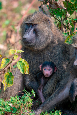 Olive Baboon, Papio anubis, mother and baby