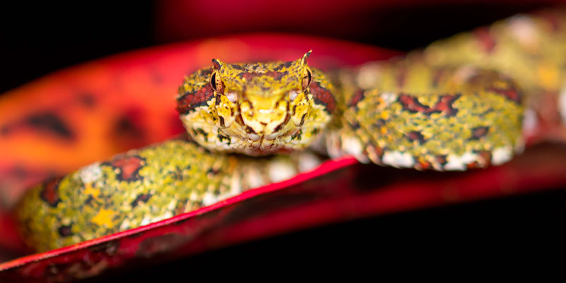 Eyelash viper, Bothriechis schlegeli
