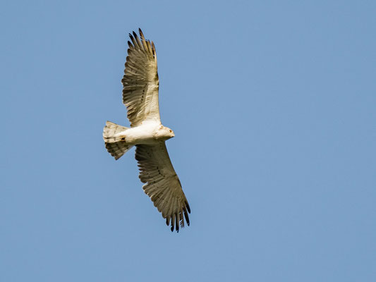 Short-toed Snake Eagle , Circaetus gallicus