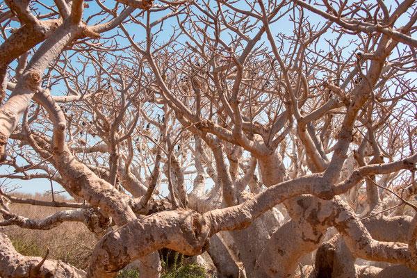 African Baobab, Adansonia digitata, dwarf on the Iles de la Madeleine