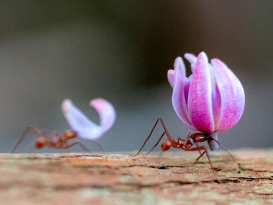 Fourmi coupe feuille, genre Atta ou Acromyrmex. Observation d'une ligne durant une trentaine de minutes tranportant des morceaux de fleurs!