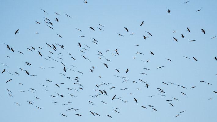 White Stork, Ciconia ciconia in active migration