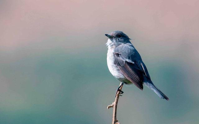 Grey-throated Tit-Flycatcher,  Myioparus griseigularis