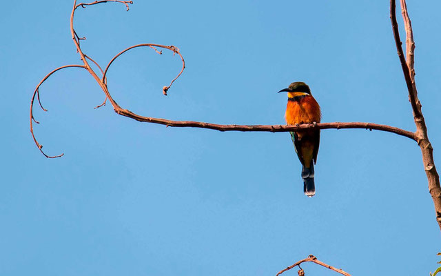 Cinnamon-chested Bee-eater, Merops oreobates