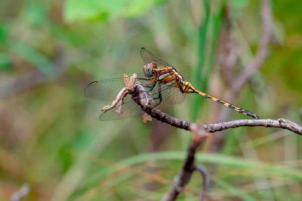 Undefined Dragonfly