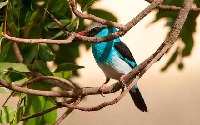 Blue-breasted Kingfisher, Halcyon malimbica