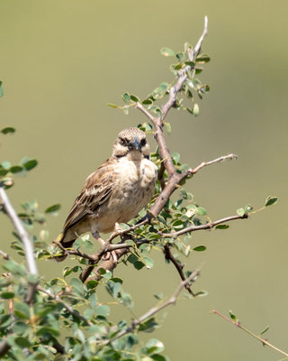 White-browed Sparrow-Weaver, Plocepasser mahali