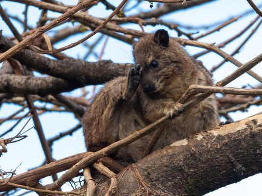 Southern tree hyrax, Dendrohyrax arboreus